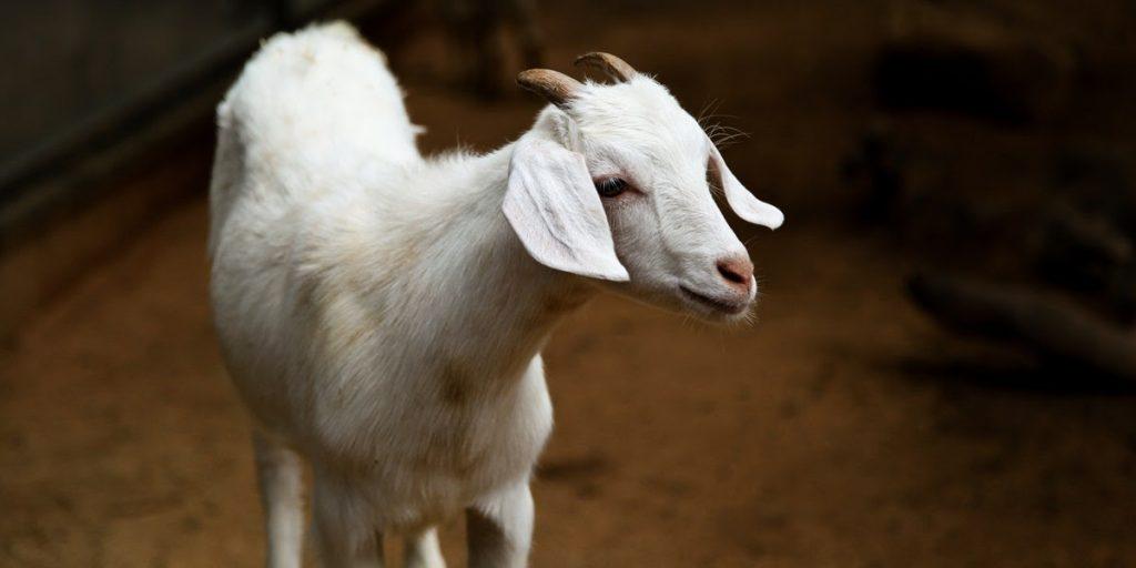 harga seekor kambing